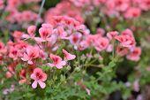 picture of geranium  - Pink bicolor geraniums in hotchpotch - JPG