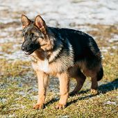 pic of shepherd dog  - Beautiful Young Brown German Shepherd Puppy Dog Staying Outdoor In Spring - JPG