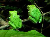 Twin Tree Frogs From Back