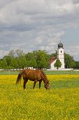 image of buttercup  - grazing horse in buttercup meadow idyllic landscape with church - JPG