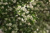 pic of dogwood  - Crab Tree or Dogwood Blossoms in Spring - JPG