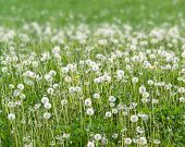 image of hayfield  - sunny scenery showing a meadow with lots of dandelion blowballs at spring time - JPG