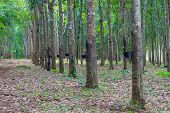 picture of row trees  - Row of para rubber tree - JPG