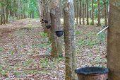foto of row trees  - Row of para rubber tree - JPG