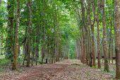 image of row trees  - Row of para rubber tree - JPG