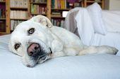 foto of sleepy  - closeup of a sleepy Spanish Mastiff indoor with library on background - JPG