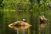 foto of rainforest  - Turtles in amazon rainforest - JPG