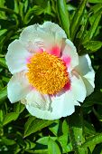 stock photo of tuberose  - The peony is a flowering plant in the genus Paeonia - JPG