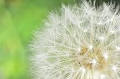 image of defloration  - deflorate enlarged Dandelion ( blowball ) with fluff and seeds over green