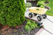 picture of tree trim  - Garden tools used to trim arborvitaes in spring with a handheld hedge trimmer and small yellow metal cart standing alongside the evergreen Thuja trees - JPG