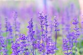 stock photo of salvia  - Blue Salvia farinacea flowers blooming in the garden