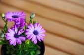 stock photo of extreme close-up  - beautiful purple daisies with space for text - JPG