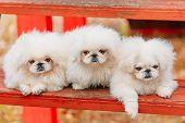 pic of sitting a bench  - Three White Pekingese Pekinese Peke Whelps Puppies Dog Sitting On Wooden Bench In Autumn Park - JPG