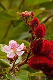 foto of rainforest  - Annato - JPG