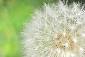 picture of defloration  - deflorate enlarged Dandelion ( blowball ) with fluff and seeds over green ** Note: Shallow depth of field - JPG