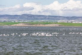 stock photo of larnaca  - Flamingos in Larnaca Salt Lake  - JPG