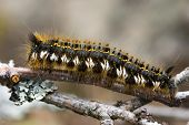 picture of cocoon tree  - caterpillar on a pine branch in the summer - JPG