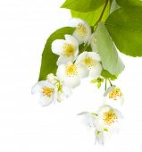 pic of jasmine  - Fresh Jasmine - JPG