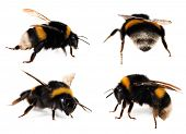 picture of bumble bee  - Bumblebees Collection - JPG