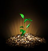 picture of coffee coffee plant  - Coffee Plant - JPG