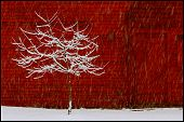 stock photo of red barn  - a lone apple tree in the snow in front of a red barn - JPG
