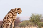 Постер, плакат: Cheetah Looking Down