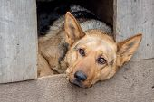In The Dogs Kennel Lies A Sad Dog, He Guards The Farm_ poster