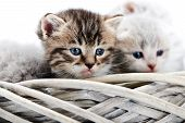 Small Brown Striped Fluffy Blue-eyed Kitten Sitting Among Other Cute Grey Kitties In White Wicker Ba poster