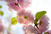 Sakura, Cherry Blossom, Cherry Tree With Flowers. Oriental Cherry Blooming. Spring Background With F poster