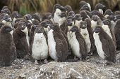 Rockhopper Penguin Chicks (eudyptes Chrysocome) Huddle Together In A Creche On Bleaker Island In The poster