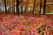 Many Red Leaves Of Oak Trees Growing In The Park Near The Oak Trees With Yellow Leaves poster
