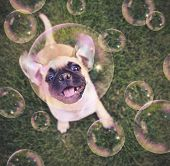 cute chihuahua pug mix puppy playing outside in fresh green grass with soap bubbles toned with a ret poster