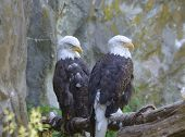 Bald Eagle Pair With Drowsy Eyes Beside A Rocky Cliff. poster