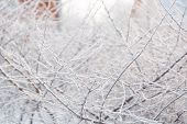 Hoarfrost On The Bush. The Bush Froze In Winter. Winter Bush In The Forest. poster