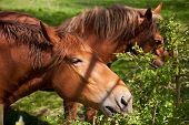 image of shire horse  - Close up of a British Suffolk Punch shire horse eating - JPG