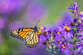 Monarch butterfly feeding on purple aster flower in summer floral background. Monarch butterflies in poster