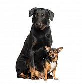 Beauceron and a mixed-breed dog with chihuahua sitting against white background poster