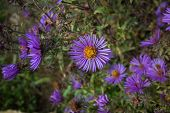New England Aster In An Early Autumn Garden. Known As Symphyotrichum Novae-angliae, Hairy Michaelmas poster