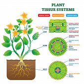 Plant Tissue Systems Vector Illustration. Labeled Biological Structure Scheme. Anatomical Diagram Wi poster
