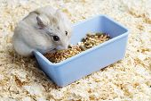 Dwarf Furry Hamster Eats Food Next To Feeder On Sawdust Background poster