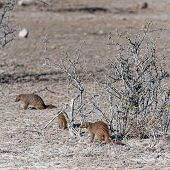 A Group Of Banded Mongoose -mungos Mungo- Hinding Behind The Bushes Of Etosha National Park, Namibia poster