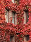 stock photo of english ivy  - Corner windows of a caste covered with autumn - JPG