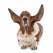 Basset Hound In Front Of White Background poster