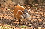 Red River Hog, African Wild Life