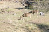 pic of blacktail  - 2 California Blacktail bucks browsing on sparce shoots in winter - JPG