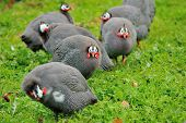 picture of guinea fowl  - male guinea fowl staring threateningly at camera - JPG