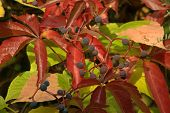 image of bine  - Red and green leaves with blue berries in autumn