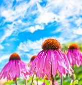 stock photo of hayfield  - Eastern purple coneflower blooms throughout spring or summer - JPG