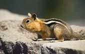Wild Animal Chipmunk Stands Eating Filling Up For Winter Hibernation