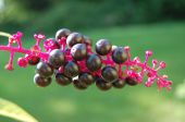 picture of pokeweed  - Phytolacca pokeweed - JPG